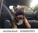 french bulldog sit in the car... | Shutterstock . vector #1036062901