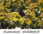 Bees On Japanese Raisin Tree...