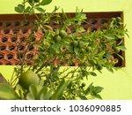 citrus. citrus tree. lemon....   Shutterstock . vector #1036090885