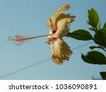 hibiscus. home tea rose. buds...   Shutterstock . vector #1036090891