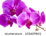 purple orchid isolated on white ... | Shutterstock . vector #103609841