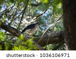 Small photo of African Goshawk sitting on thick branch looking down to the ground in Stellenbosch, Western Cape in South Africa
