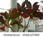 plant of gardening. codiaeum...   Shutterstock . vector #1036137685