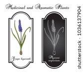 grape hyacinth  muscari... | Shutterstock .eps vector #1036137904