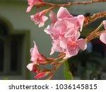 plumeria. delicate pink flowers....   Shutterstock . vector #1036145815