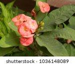 euphorbia milii plant. delicate ...   Shutterstock . vector #1036148089