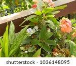 euphorbia milii plant. delicate ...   Shutterstock . vector #1036148095