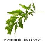 caryota obtusa leaves  giant... | Shutterstock . vector #1036177909