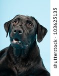 cute black labrador retriever... | Shutterstock . vector #103625135