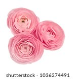 pink ranunculus isolated on... | Shutterstock . vector #1036274491