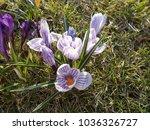 crocus  plural crocuses or...   Shutterstock . vector #1036326727