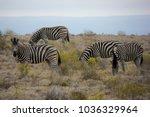 wild zebras in south africa | Shutterstock . vector #1036329964