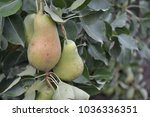 pear. pyrus communis. tree with ... | Shutterstock . vector #1036336351