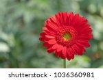 closeup beautiful red gerbera... | Shutterstock . vector #1036360981