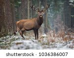 Motionless Great Stag In Winte...