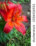 Garden Red Lily Flowers Wet...