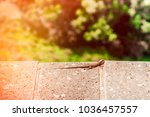 lizard sitting on brown stone... | Shutterstock . vector #1036457557
