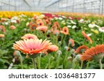 Many Orange Gerbera Flowers In...