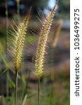 Small photo of Alang-alang , Blady grass