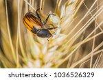 bread beetle eats wheat ear.... | Shutterstock . vector #1036526329