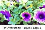 purple petunia flowers | Shutterstock . vector #1036613881