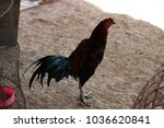 close up fighting cock.... | Shutterstock . vector #1036620841