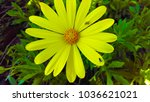 yellow daisy flower | Shutterstock . vector #1036621021