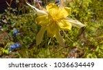yellow columbine flower | Shutterstock . vector #1036634449