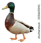 Mallard Duck With Clipping Pat...