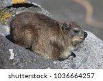 rock dassie resting | Shutterstock . vector #1036664257