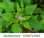 chenopodium album   lamb's...   Shutterstock . vector #1036713301