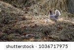 chicken with a baby gluten in... | Shutterstock . vector #1036717975