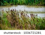 Small photo of Reeds and bulrushes (reed mace) by a lake in breezy weather.