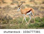 The springbok  antidorcas...