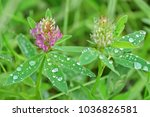 Pink Clover On The Field Close...