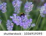 Furry Bumblebee Getting Nectar...