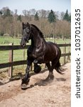 Small photo of Friesian horse (with bridle, but without rider) coming towards you in a beautiful canter.