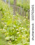 Closeup of grape vine leaves in the Vineyard - stock photo