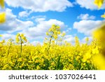 Blooming Rapeseed Field Of...
