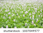 water hyacinth flower    Shutterstock . vector #1037049577
