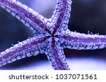 purple spiny starfish in blue... | Shutterstock . vector #1037071561