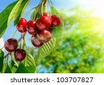 red and sweet cherries on a... | Shutterstock . vector #103707827