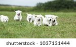 Stock photo beautiful group of golden retriever puppies running on the grass 1037131444