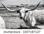Huge Wide Set Of Horns On Texa...
