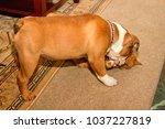 leland  a young british bulldog ... | Shutterstock . vector #1037227819