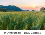 barley field in golden glow of... | Shutterstock . vector #1037238889