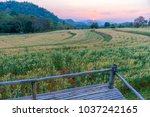 terrace on barley field in... | Shutterstock . vector #1037242165