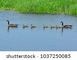 Small photo of Canadian Geese family swimming in a blue water flowage on a sunny spring day.