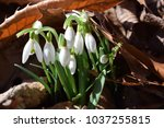 Small photo of A cluster of delicate snowdrop flowers in full sun coming out through dry leaves in the woods