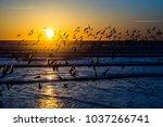 Flock Of Sanderling Water Bird...